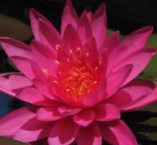Nymphaea New Colorado Live Aquatic Plant Peach//Orange Hardy Water Lily Tank B2G1