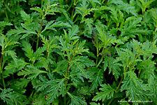 Echtes Eisenkraut 150 Samen Verbena Officinalis, Heilpflanze, Zierpflanze 01416