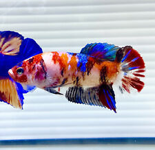New listing Us Seller(Aaa-Grade) Female Candy Koi Giant 2.5� Betta imported from Thailand