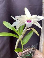 🌿Dendrobium transparens -Orchid Species Native From Asia ! Must Have