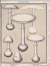 MUSHROOM PRINT. Edible Fungi Of New York. Circa 1900 ~Amanita Phalloides & Verna
