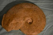 grande ammonite Harpoceras subplanatum toarcien de Thouars
