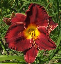 Daylily Plant MAROON JIVE Perennial Hensley-D. Double Fan Red Yellow Flower