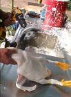 Chicken plucker, duck plucker, pluck ducks cleanly without wax,