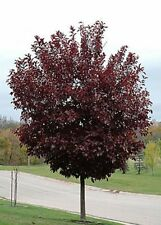 Schubert Chokecherry, Shubert Chokecherry (Prunus virginiana Shubert) 30 seeds