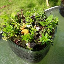 BEAUTIFUL MIXTURE OF STONE CROP SEDUM IN CHARMING GLASS CONTAINER