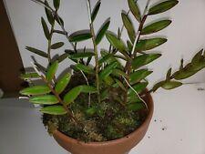 Epidendrum radicans Live Plant Orchid