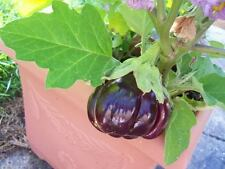 25 RUFFLED RED EGGPLANT Pumpkin On A Stick Edible & Ornamental Solanum Melongena