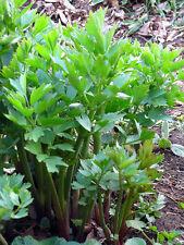 Lovage 100 Seeds Medicinal Herb (HEIRLOOM) Herb Celery Flavour