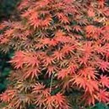 Plant érable du japon