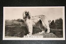 Afghan Hound  1930's Champion   Vintage Photo Card  VGC