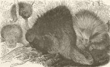 RODENTS. The Canadian porcupine. Canada 1894 old antique vintage print picture