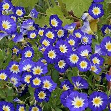 "Royal Ensign Dwarf Morning Glory ""Convolvulus"" 50 Seeds"