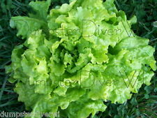 BLACK SEEDED SIMPSON Organic Heirloom Flavor! LETTUCE 200+ seeds NON-GMO