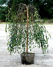Trauerbirke Betula pendula 'Youngii' Stämmchen 125 cm Stammhöhe Hängebirke