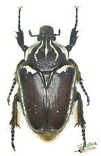 Goliath Käfer Set x1 Buchse Riesige Halterung Entomologie