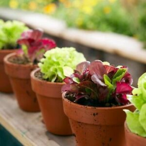 Seeds Indoor Lettuce Mix Red Green 25 Days for Salad Vegetable Organic Heirloom