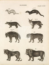 Mammals Lynx Tiger Lion Lioness Hyena Civet Ferret - 1818 Antique Print #D789