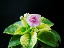 NK-Miljfey Blatt/ leaf African Violet Usambaraveilchen