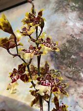 """Gorgeous Oncidium in Bloom_""""Wildcat"""""""