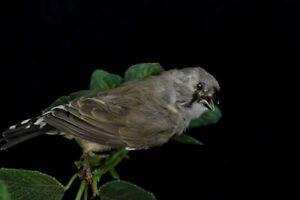 Beauty Domestic Finch New Premium Taxidermy Bird