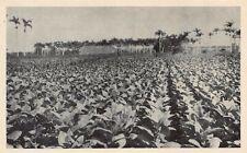 CUBA 1920's Field at Partagas Cigar Factory at Havana, CUBAN - TOBACCO