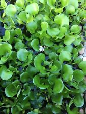 2 Water Hyacinths Purple flower floating plant bio filter for koi fish pond
