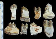 Oreodont, Eight Lower Tooth Fossils, Merycoidodon, Badlands, South Dakota, O1129