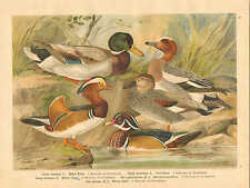 Ducks, Waterfowl, Coastal Birds, Vintage 1905 German Antique Art Print #1