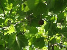 American Sycamore Tree - Shade Live Established Rooted - 1 Plant in 1 Gallon Pot