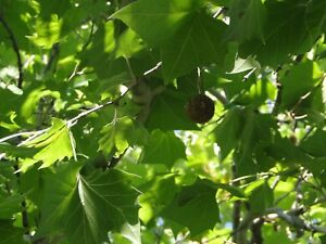 2 Live SPROUTS SYCAMORE American Planetree Western Plane Tree Fresh 2020