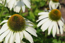 NEW ECHINACEA WHITE SWAN Cone Flower Seed LONG Bloom 25 + PERENNIAL Canada Comb