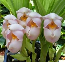 Orchid Species Anguloa uniflora Near Bloom Size Fragrant