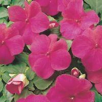 Impatiens- Walleriana Baby - Carmine- 50 Seeds- BOGO 50% off SALE