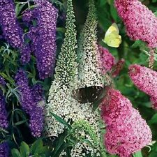 Butterfly Bush- Mixed Colors- 50 Seeds