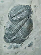 TWO BIG! 100% Natural Utah Trilobite Fossils in Cambrian Era Matrix! 535gr *C
