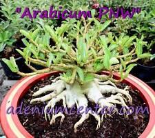 "ADENIUM DESERT ROSE ARABICUM "" PNW "" 10 Seeds FRESH NEW RARE  FREE SHIPPING"