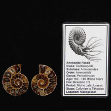 *B GRADE* Ammonite Pair Fossil Fossilised Slice 30mm - 45mm w/Info Card