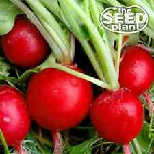 Early Scarlet Globe Radish Seeds - 100 SEEDS NON-GMO