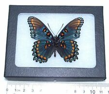 REAL FRAMED BUTTERFLY ARIZONA LIMENITIS ARTHEMIS ARIZONENSIS RED SPOTTED PURPLE