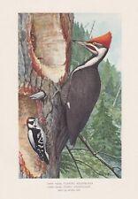 3 Original Antique Bird Prints: Pileated Woodpecker Hawks & Owls by Fuertes 1902