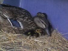 10+ Mallard Duck Hatching Eggs