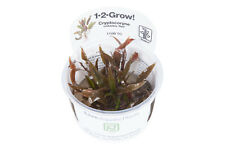 TROPICA in vitro 1-2 Grow CRYPTOCORYNE Undulatus Red rougeaud EAU CALICE