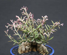 Monadenium rubellum, exotic caduciform tuber caudex  bonsai cactus seed 25 seeds
