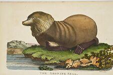 Cabinet de Curiosité Gravure XVIII° Phoque tête de lion Leonine Seal, Linnaeus