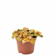 Mosaikpflanze rotgelb - Fittonia Verschaffeltii Skeleton - Höhe ca. 15 cm, Topf-