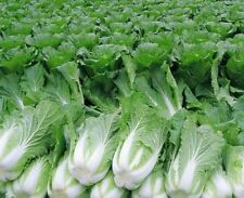 500Pcs Chinese Leaves cabbage seeds vegetable Brassica Four seasons fast-growing