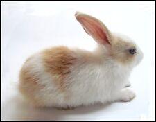 METAL FRIDGE MAGNET White Tan Bunny Rabbit Bunnies Rabbits