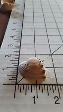 Pitar Lupanaria Sea Shell