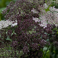 Kings Seeds - Daucus Carota Dara - 100 Seeds